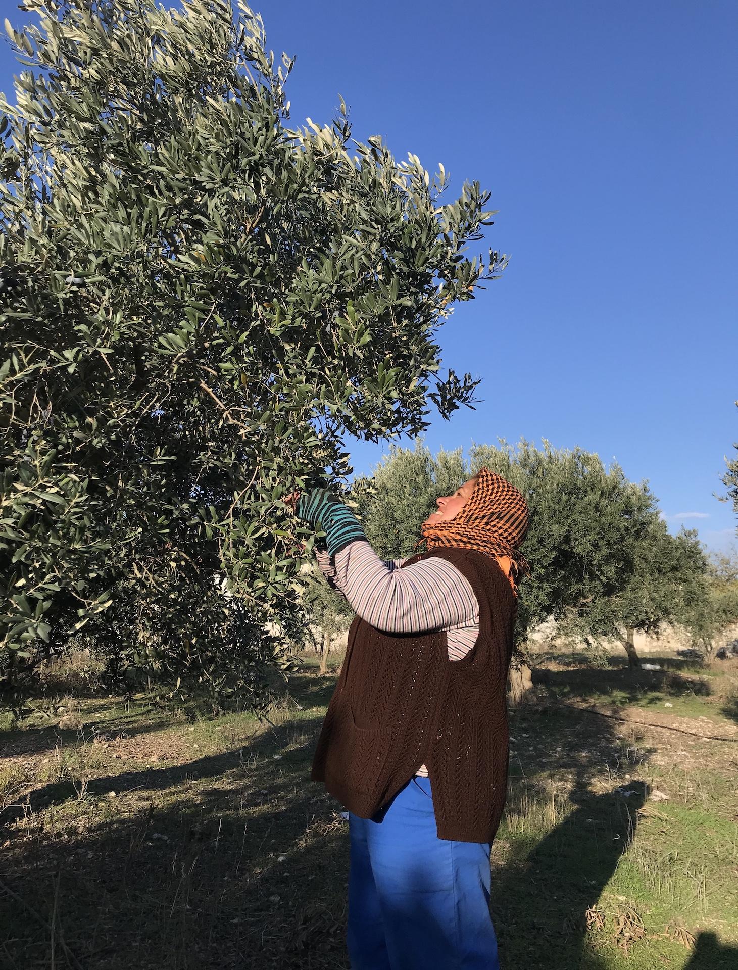 Doğal ve Katkısız Zeytinyağı Üretimi Nasıl Yapılır?