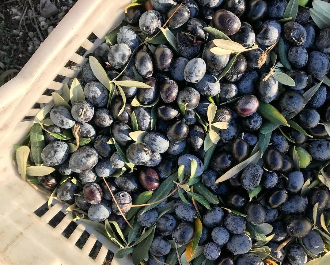 Doğal zeytin üretimi nedir ve nasıl yapılır?
