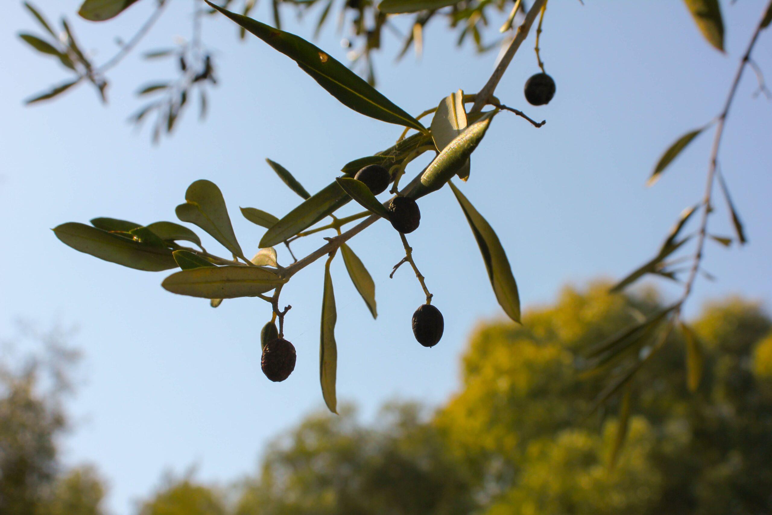 Nergistepe Çiftliği zeytinlerinin diğer zeytinlerden farkı nedir?