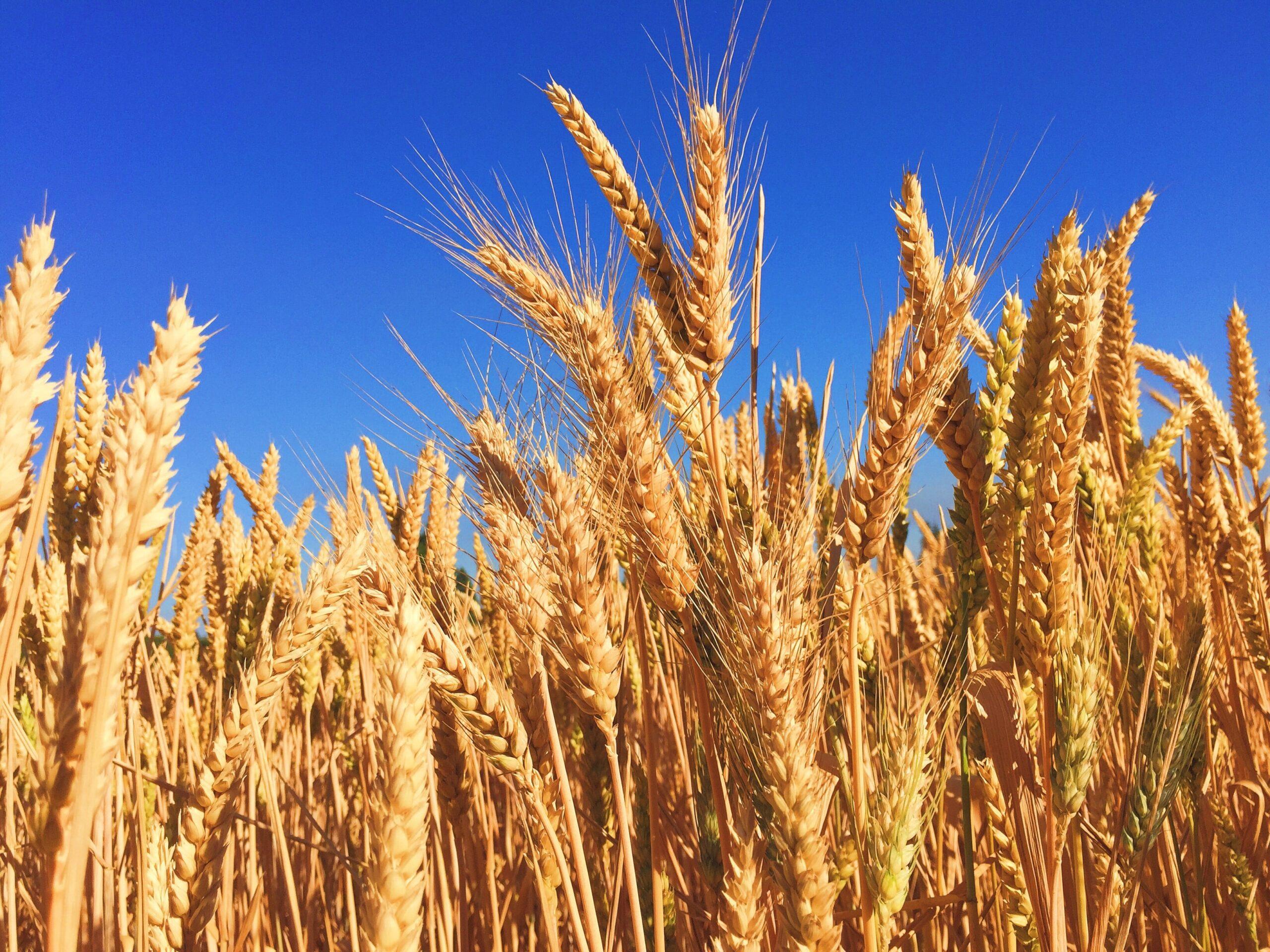 Doğal tam buğday unu nedir ve nerede bulunur?